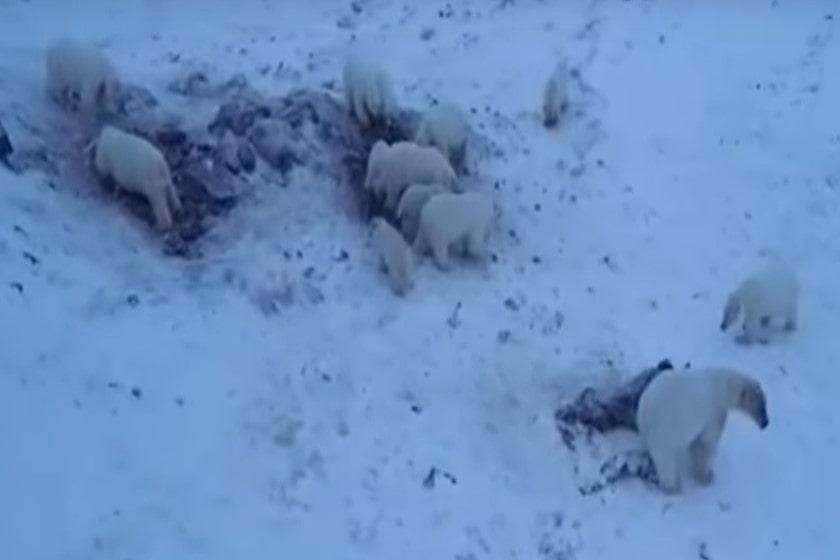osos polares_Rusia