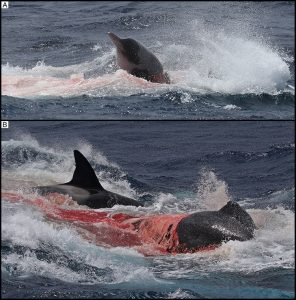 Documentan ataque de orcas asesinas