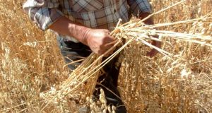 La Organización de las Naciones Unidas para la Alimentación y la Agricultura FAO calculó que el índice de precios alimentos disminuyó 1.5% anual en 2016, basado en una constante disminución en los precios de los cereales.