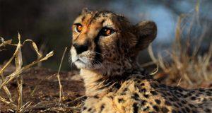 Investigadores alertan que el guepardo se encuentra en peligro de extinción