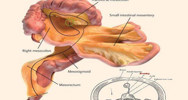 nuevo organo del cuerpo humano: Descubren un nuevo órgano en el ...