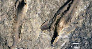 Encuentran el fósil de un gusano gigante con una antigüedad de 400 millones de años