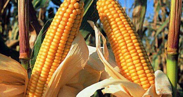 México podría dejar de comprar maíz a Estados Unidos. Productores agrícolas estadounidenses en riesgo de pagar platos rotos de la renegociación del TLCAN impulsada por Donald Trump