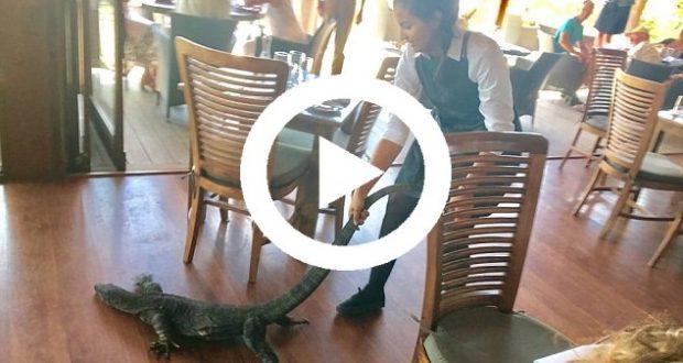 Graban el momento en que una camarera se enfrenta a un dragón Komodo en Australia