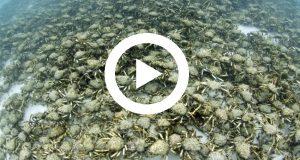 Graban el enfrentamiento mortal entre cangrejos gigantes y un pulpo