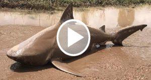 En Australia un tiburón es arrojado del mar por el ciclón Debbie [Video]