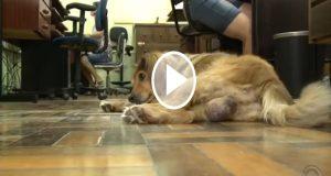 El video de un perro asistiendo a clases en Brasil se vuelve viral