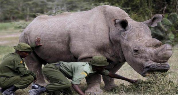 Usan Tinder para recaudar fondos para el último rinoceronte blanco en el mundo