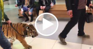 Domador lleva a pasear a un tigre por un centro comercial