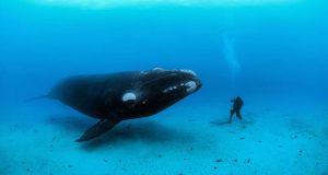 Aseguran que el cambio climático provocó que las ballenas se volvieran gigantes