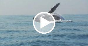 Captan a una ballena de 40 toneladas saltando fuera del agua [Video]