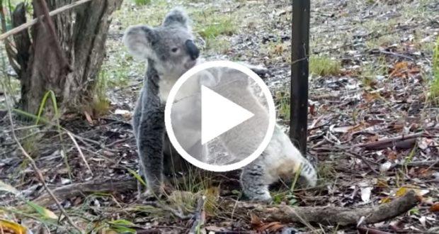 Koala rescata a su cría de un trampa mortal [Video]