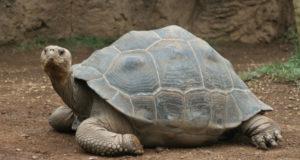 Desparece tortuga gigante del zoológico proveniente de Japón