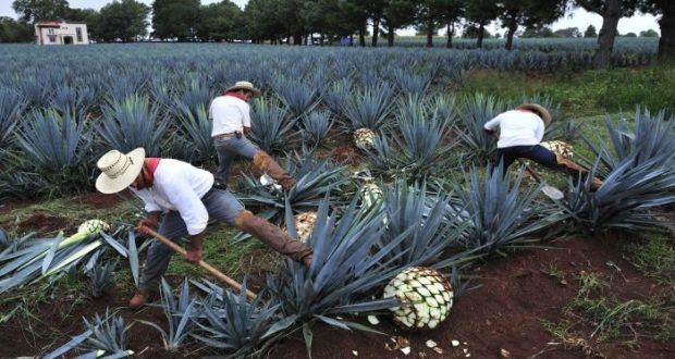 Tequila y mezcal conquistan al mundo pero temen sobre explotación de agave azul ya que ha sido tanta la demanda, que han tenido que utilizar plantas más jóvenes para la producción.
