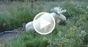 Captan imágenes de un extraño alce blanco en Suecia [Video]