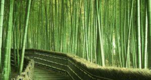 De rápido crecimiento y con alta demanda mundial, el bambú es una gran oportunidad de desarrollo de negocios sustentables en México.