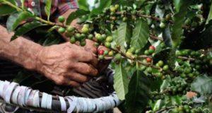 La industria del café en México enfrenta desde hace unos años una lucha constante contra las plagas que atacan los sembradíos y terminan con las cosechas, lo que ha provocado una reducción de la producción en diversos estados del país, por lo que autoridades e investigadores desarrollan métodos de control principalmente contra la roya.