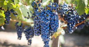 Vendimia, cosecha de vino, uvas