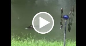 Mujer encuentran a dos cocodrilos en su jardín tras el paso del huracán Harvey [Video]