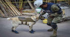 Frida, la perra rescatista que cautiva a toda la sociedad se ha convertido en un ícono en México y en el mundo debido a la valentía.