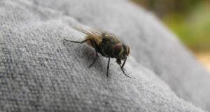 La mosca de ciudad puede transmitir una gigantesca cantidad de enfermedades contagiosas.