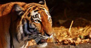 La cuidadora de un zoologico ruso es atacada por un tigre siberiano