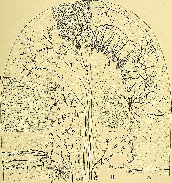 Cajal y el cerebelo