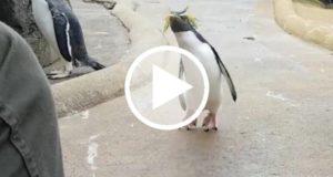 Documentan en Escocia al pingüino más feliz del mundo