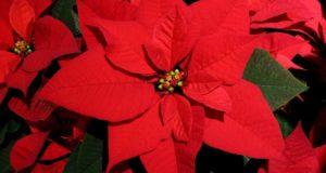 Llegó diciembre y México se viste de luces y flores rojas, blancas y pintas que anuncian la llegada de la temporada decembrina. ¿Sabías que la Flor de nochebuena es originaria de México? Conoce su origen.