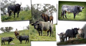 Santa Coloma, ganadería