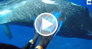 Ballena salva del ataque de un tiburón a buceadora [Video]