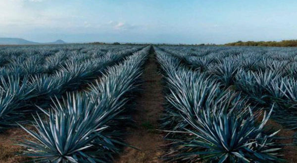 planta de agave se ha convertido en algo valioso para la delincuencia por el aumento de su precio, pero el robo de los ejemplares de la Tequilana Weber daña profundamente a los productores locales.