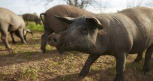 Carne de cerdo queretana podría ser exportada a Canadá y países asiáticos, , aumentando así su visibilidad en el mercado internacional.