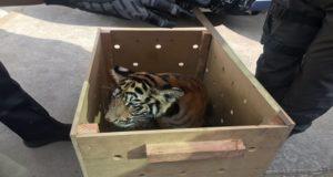 Detienen a hombre que viajaba con un tigre por las calles de Oaxaca