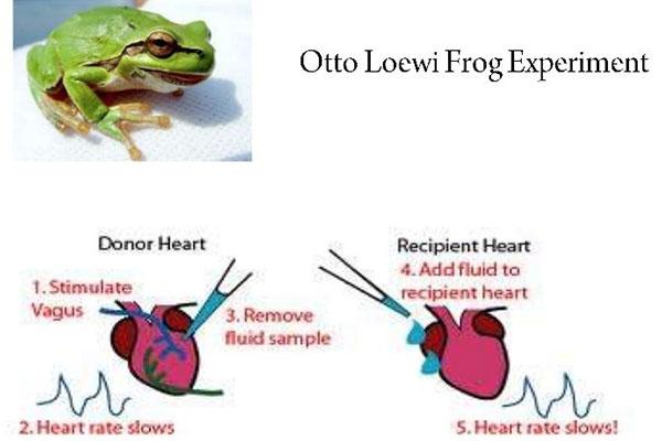 Diagrama del experimento de Loewi