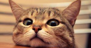 Mutaciones genéticas convirtieron en animales domésticos a los gatos