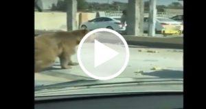 Oso es captado deambulando en las calles de Irak [VIDEO]