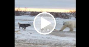 Graban a un oso polar jugando con un perro encadenado