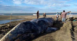 Rescatan a ballena gris varada en las costas de Baja California Sur (Vídeo)