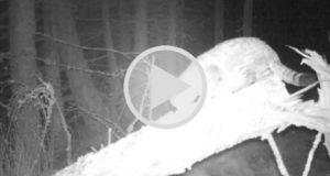 """Graban en Escocia a un gato salvaje """"gigante"""" [Video]"""