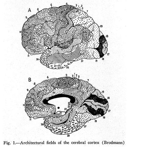 Cerebro-Broadmann
