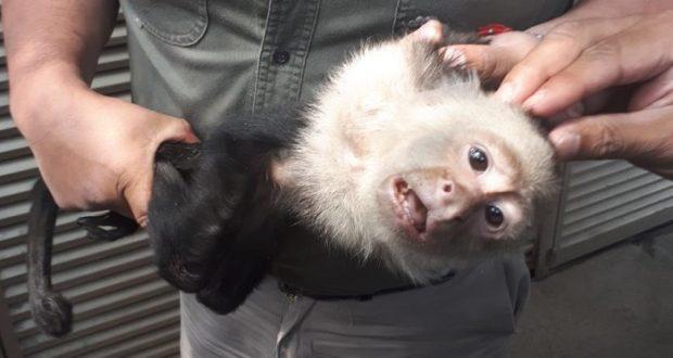 Tras 14 días, por fin es atrapado el mono capuchino de las Lomas de Chapultepec