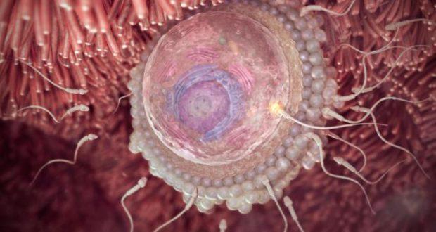 ovulo fecundado