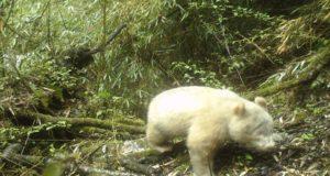 Panda_Albino