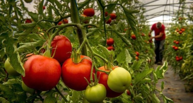tomates exportaciones
