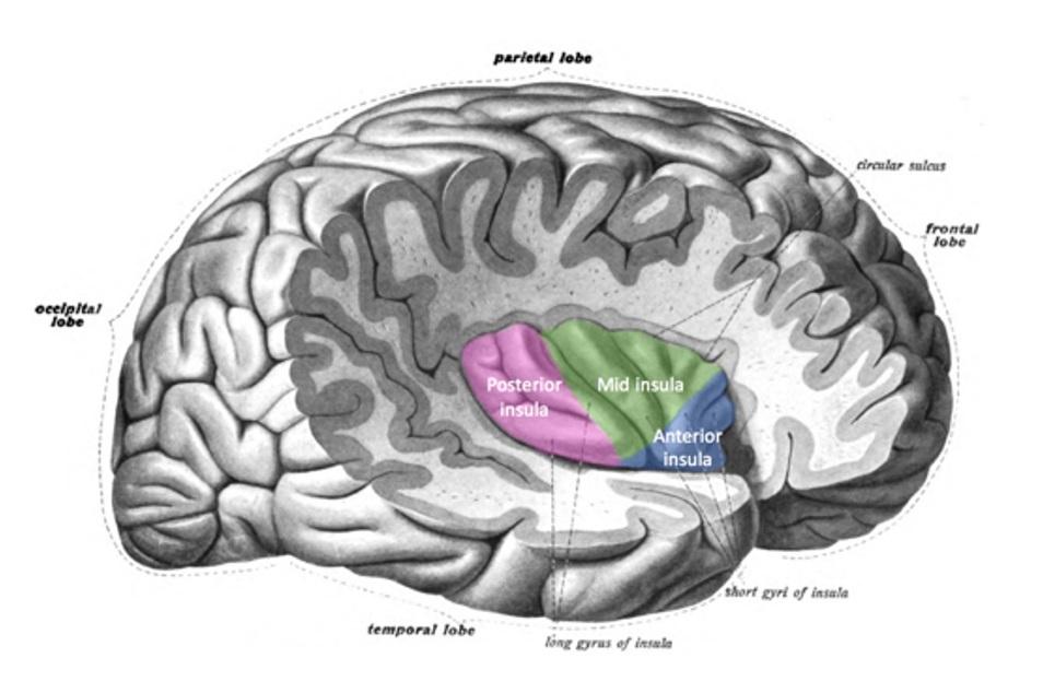 Figura ínsula cerebral.