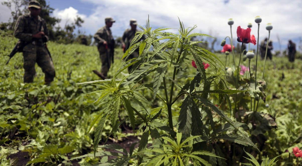Campo de marihuana.