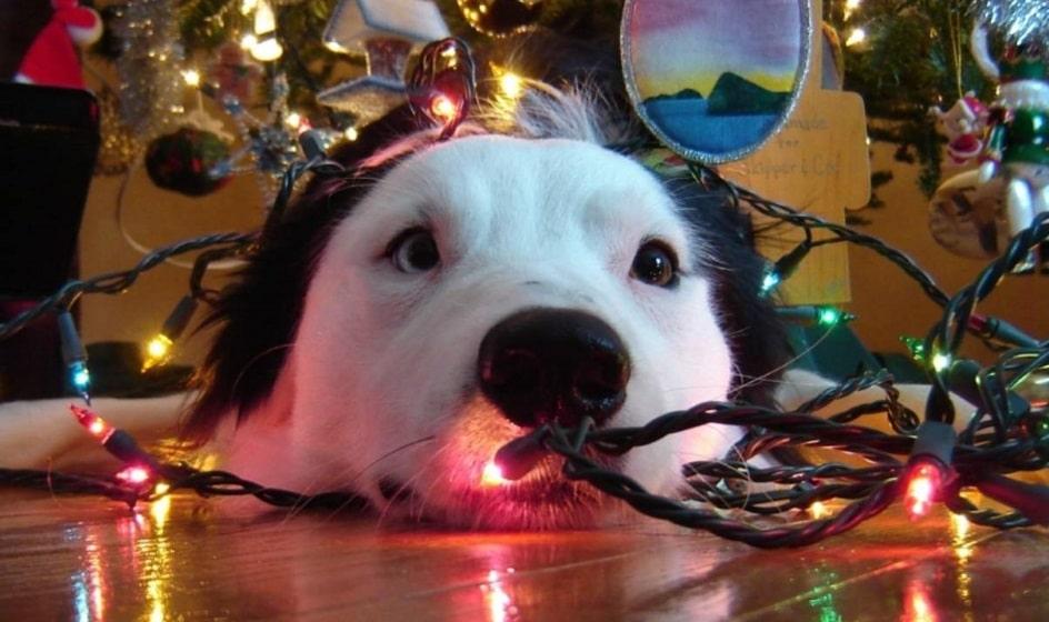 Tipos de accidentes que sufren las mascotas en fin de año