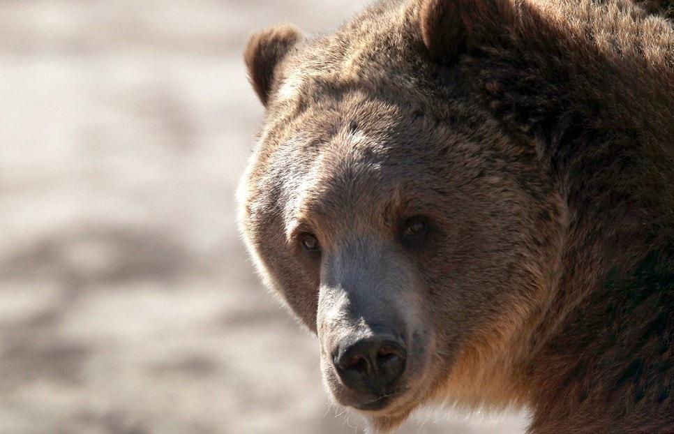Video muestra oso en calles de España durante cuarentena