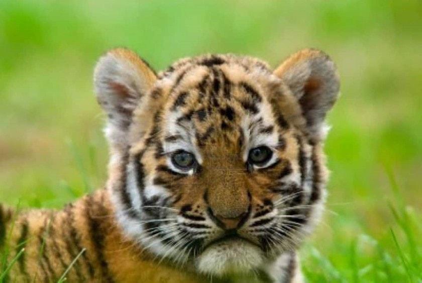 nace tigre de bengala que fue nombrado COVID